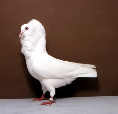 Capucin Hollandais blanc