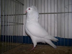 Mâle blanc VC Hervé